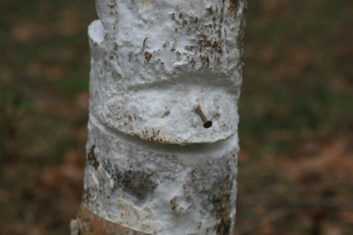 Oyster Mushroom Mycelium on box elder (Acer negundo). Amy