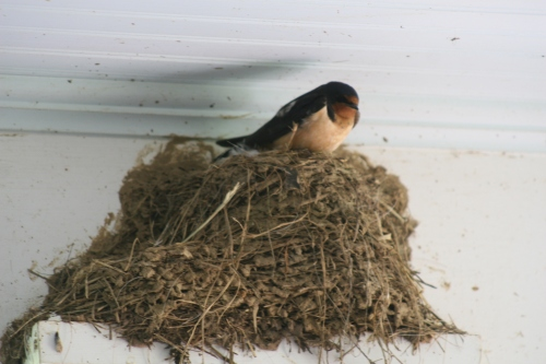 a couple weeks later, the nest is *finally* finished, and she sits.