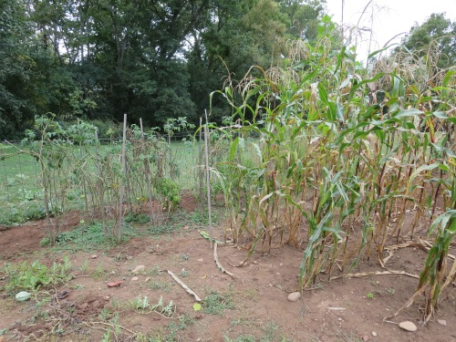 Watermellon patch, scraggly last corn and browning tomatoes