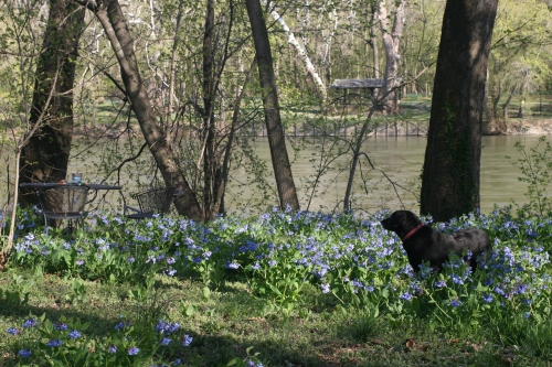 River Bluebell View 3