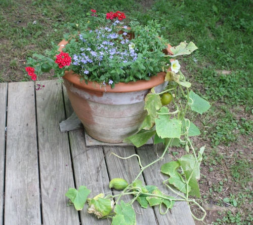 grow cucumbers in your flower pot!