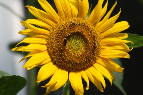 3 bee-types like this sunflower (Helianthus)!