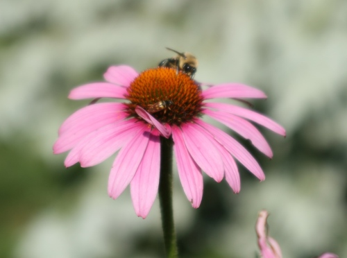 Purple Cone Flower (Echinacea purpurea) - yumm!