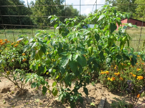 Ghost peppers thriving. Watch out!