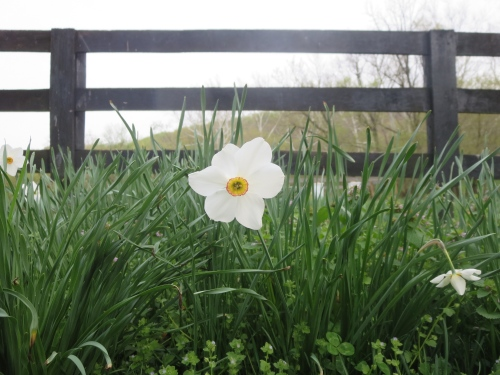 Jonquil guards the fence