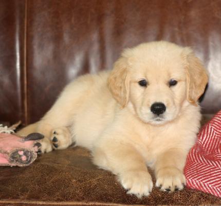 Puppikins, 6 weeks