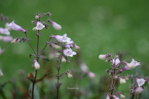 Virginia Beardtongue